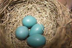 De Eieren van Robbin stock afbeeldingen