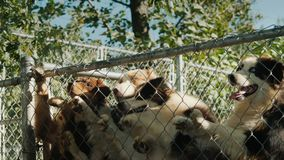 De eigenaar geeft reepjes van heerlijk voedsel aan zijn honden, hoge huisdierensprongen om voedsel te grijpen stock footage