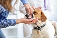 De eigenaar van de hond toont de dierenarts de tanden van het huisdier Vage achtergrond van veterinaire kliniek royalty-vrije stock afbeeldingen