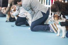 De eigenaars met Britse Buldoggen tijdens hondententoonstelling betwisten stock fotografie