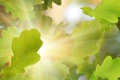 De eik van de de bladerenboom van de herfst Stock Foto