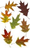 De eik van de herfst doorbladert Royalty-vrije Stock Afbeelding