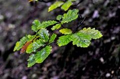 De eik van de herfstbladeren Stock Afbeeldingen