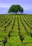 De Eik van de wijngaard Stock Foto's