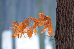 De eik van de winter stock afbeeldingen