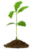 De eik van het jong boompje, die op een witte achtergrond wordt geïsoleerdO Stock Fotografie
