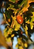 De eikel van de herfst Stock Foto