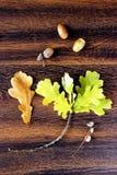 De eiken bladeren en eikelsvlakte lag Royalty-vrije Stock Foto