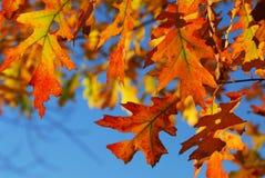 De eiken bladeren van de daling Royalty-vrije Stock Afbeeldingen