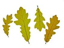 De eiken bladeren van de herfst Stock Afbeeldingen
