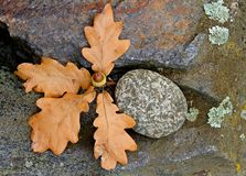 De eiken bomen doorbladert en eikel met steen Stock Foto's