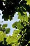 De eiken boom gaat weg en vertakt zich Royalty-vrije Stock Foto's