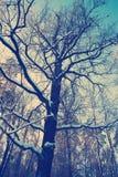 De eiken boom van de de wintersneeuw op een blauwe hemelachtergrond Royalty-vrije Stock Afbeeldingen