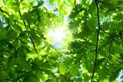 De eiken boom van de lente stock afbeeldingen