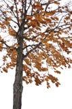 De eiken boom van de winter Royalty-vrije Stock Foto