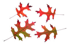 De eiken geïsoleerdee bladeren van de daling Royalty-vrije Stock Fotografie