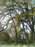 De Eiken van de de lentetijd Stock Foto's