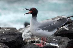 De eilanden van de slikken-staart Gull.Galapagos. Stock Afbeeldingen