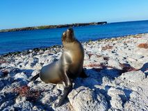 De eilanden van de zeeleeuwgalapagos royalty-vrije stock afbeeldingen