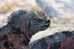De Eilanden van Marine Iguana - van de Galapagos - Ecuador royalty-vrije stock foto's