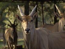 De elandantilope van de antilope Stock Afbeeldingen