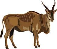 De ELANDANTILOPE van de Reeks van de antilope Stock Fotografie