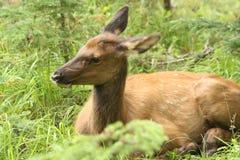 De elanden die van het kalf 2 verbergen Stock Foto