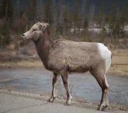 De elanden kalven op weg Stock Foto