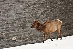 De Elanden van de koe in Sneeuwstorm 56 Stock Fotografie