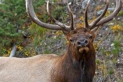 De elanden van de stier, cervuscanadensis Stock Afbeeldingen