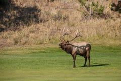 De elanden van de stier het bugling Stock Fotografie