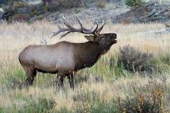 De elanden van de stier het roepen Royalty-vrije Stock Afbeelding