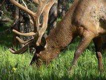 De elanden van de stier het weiden royalty-vrije stock afbeelding