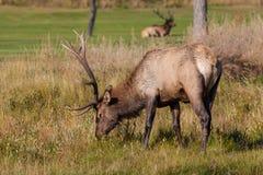 De elanden van de stier het weiden Stock Foto