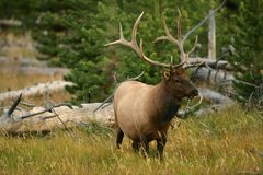 De Elanden van de stier in Yellowstone Stock Foto's