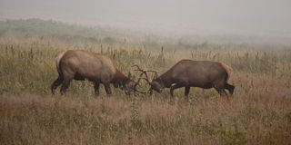 De elanden van Dueling royalty-vrije stock foto