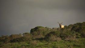 De elanden van Tule stock foto's