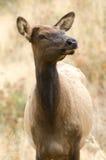 De Elanden van Yellowstone Royalty-vrije Stock Foto