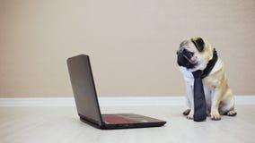 De elegante grappige pug hond bekijkt het scherm van een laptop computer, gekleed in een band lettend op een film, zijaanzicht stock video
