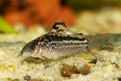 De elegante vissen van het de katvisaquarium van Corydoras Cory stock afbeeldingen