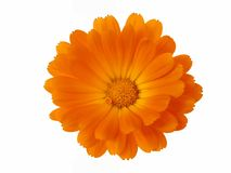 De Elementen van het ontwerp: Het Hoofd van de bloem royalty-vrije stock foto's