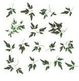 De elementen van het ontwerp - kleine bladeren vector illustratie