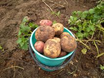 De emmer Ñ  van Ñ  Ñ€ÑƒÑ  met goede oogst die van aardappels de grote knollen wordt gevuld stock afbeelding