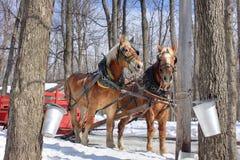De Emmers van het Sap van de esdoorn in de Lente (Canada) stock afbeelding