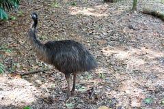 De emoe is de second-largest het leven vogel door hoogte, na zijn r royalty-vrije stock foto's