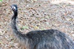 De emoe is de second-largest het leven vogel door hoogte, na zijn r stock foto's