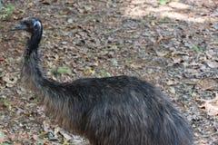 De emoe is de second-largest het leven vogel door hoogte, na zijn r royalty-vrije stock afbeelding