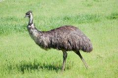 De Emoe van de struisvogel Royalty-vrije Stock Fotografie