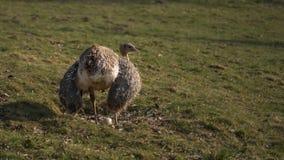 De emoe zit op het ei in het nest royalty-vrije stock foto