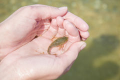 De endemische vissen van Baikal - slijmerige donderpad royalty-vrije stock foto's